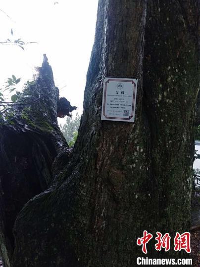"""""""黑格比""""挟风裹雨直袭浙江磐安当地六百年古树被吹断"""