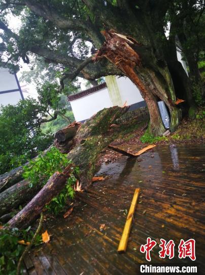 六百年古树被吹断 冯俊江 摄