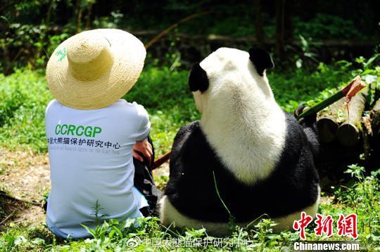"""大熊猫""""鹏鹏""""与饲养员。 钟欣 摄"""
