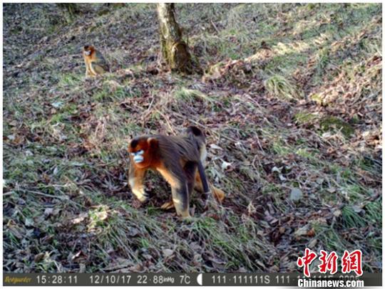 四川什邡首次拍摄到川金丝猴珍贵视频