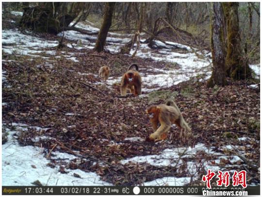 红外相机拍摄到的川金丝猴群影像。 钟欣 摄