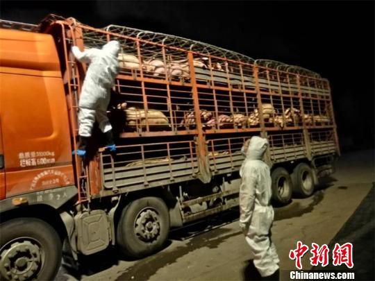 四川邻水拦获载有非洲猪瘟疫病生猪车辆已控制处理