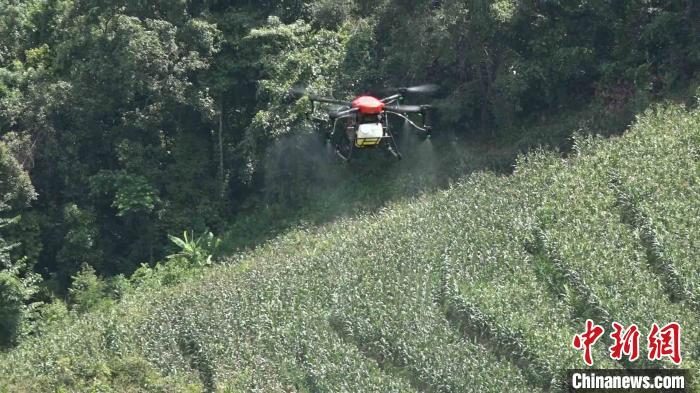 图为云南普洱市江城县动用植保无人机对黄脊竹蝗进行消杀。 刀志楠 摄