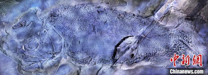 """中国发现2.44亿年前""""云南暴鱼""""为世界最古老疣齿鱼科鱼类"""