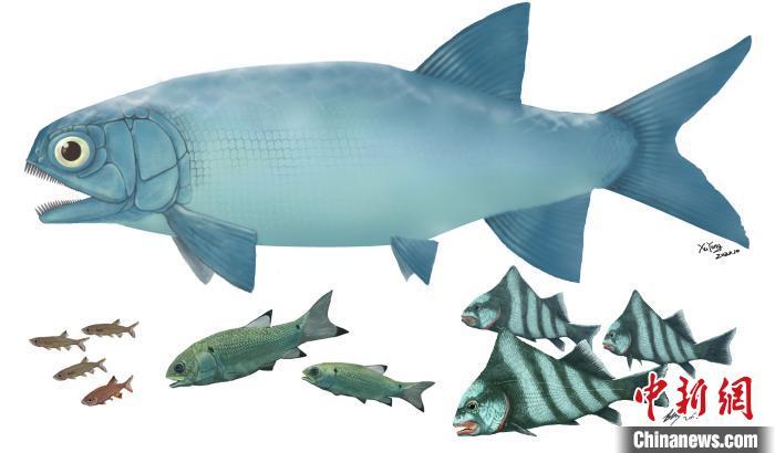 """""""云南暴鱼""""(上)与其他罗平鱼类(下)体型比较。徐光辉 供图"""