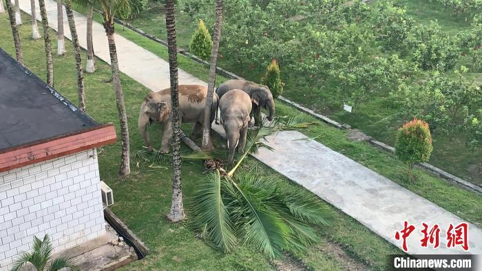 """西双版纳:亚洲象一家三口""""跨国游""""还到警营""""串门"""""""